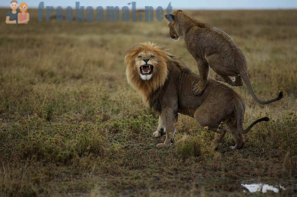 Life lions in the Serengeti National Park