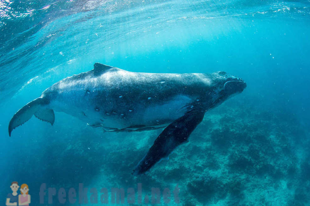 Paradise on Earth with the humpback whales