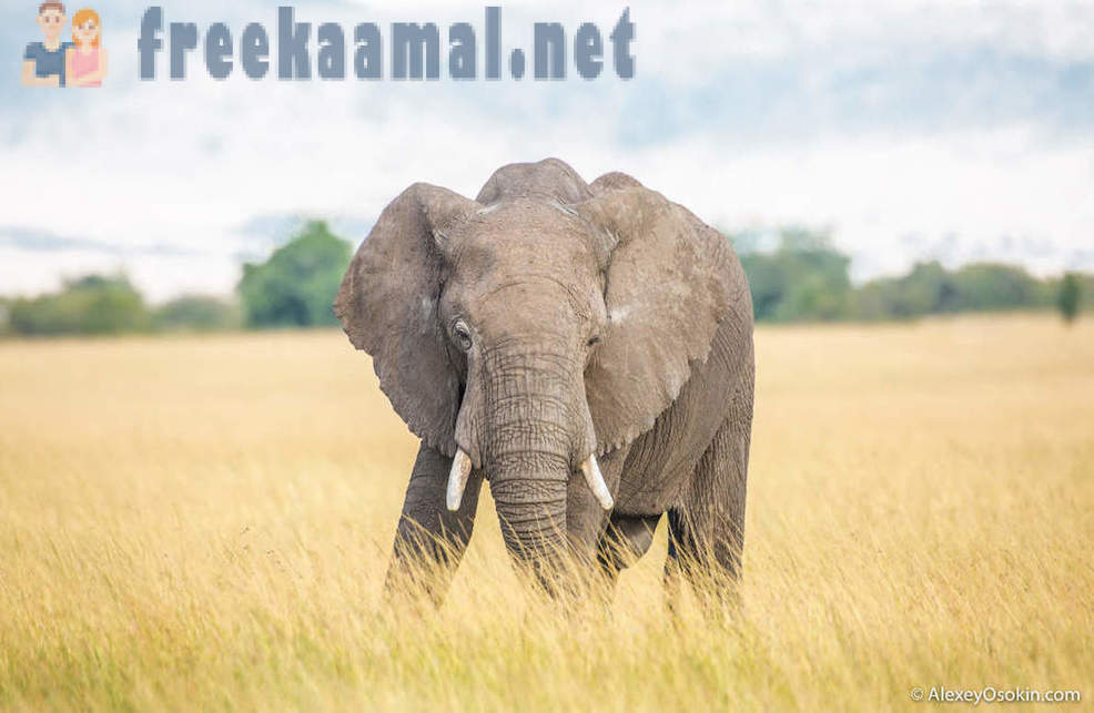 The length of the trunk and other interesting facts about elephants