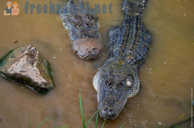 As grown alligators