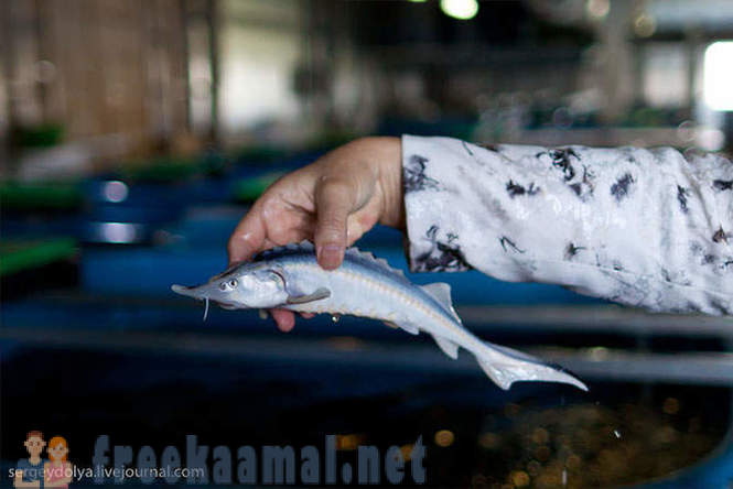 How to breed sturgeon in Astrakhan