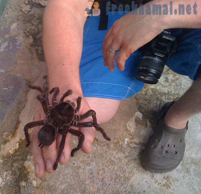 The largest spider in the world