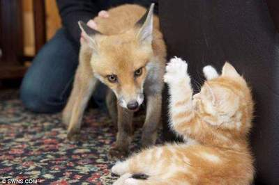 Kittens cured fox