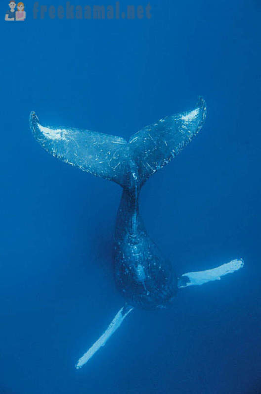 The life of humpback whales in Hawaii
